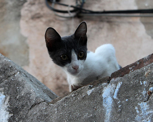 Stray_Cat_in_Croatia